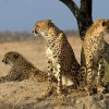 Cheetah Hops Into the Back Seat of a Jeep During Safari
