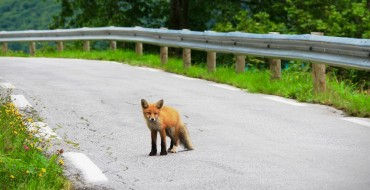 What to Do If an Animal Runs Into the Road