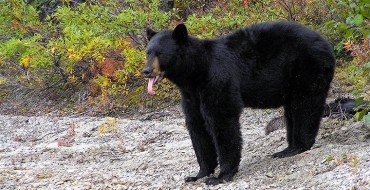 Vehicles No Match for Pair of Ravenous Bears