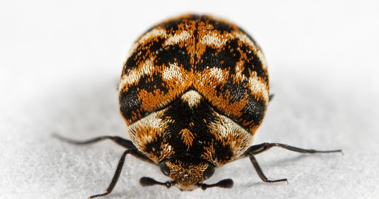 Lessons Learned Cleaning an Infestation of Carpet Beetles Out of My Car