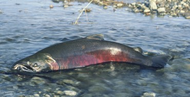 Why Did the Salmon Cross the Road?