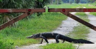Alligator Snacks on a Chevy Car in Louisiana