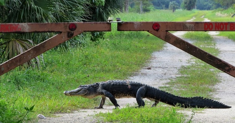 Crikey! Check Out These 7 Alligator Car Accidents