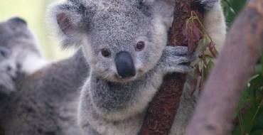 Crafty Koala Sneaks Inside a Car to Cool Down