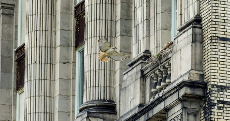 Red-Tailed Hawks Are Unlikely Residents at Michigan Central Station