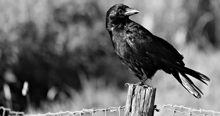 Criminal Crow Wreaks Havoc on Windshield Wipers in the UK