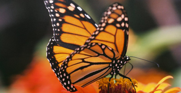 Texas Scientists Race to Save Butterflies from Becoming Roadkill