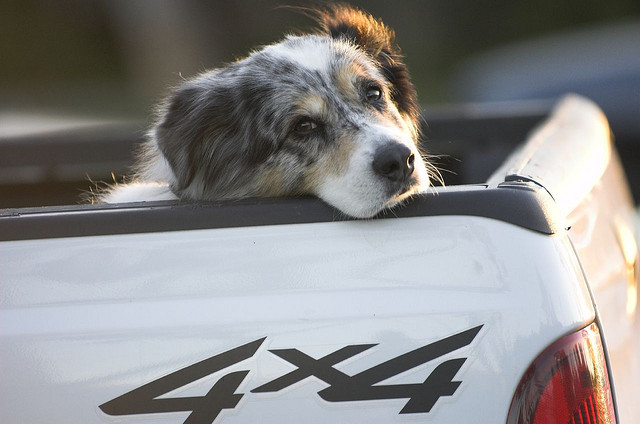 Safety First: Don't Leave Your Dog in the Truck Bed