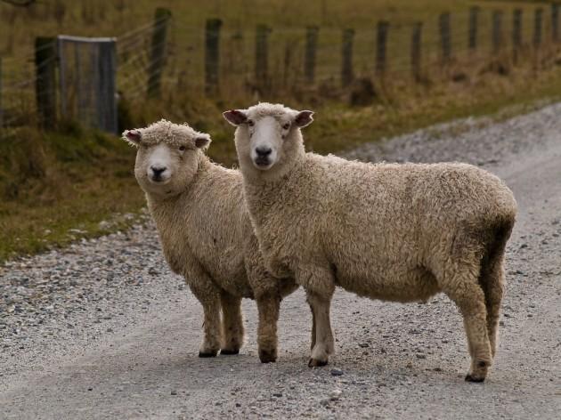Driving in Ireland rural road sheep Tim Williams