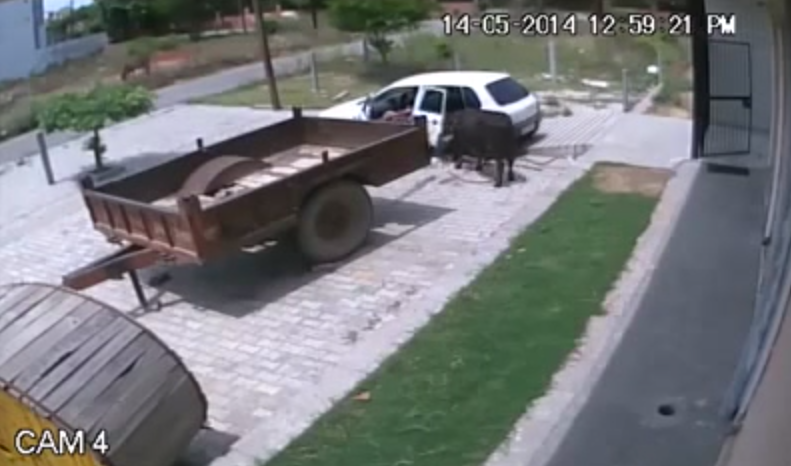 Russians Stealing a Cow with a Hatchback