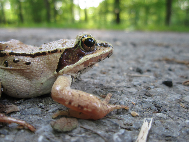 Do drivers purposely drive to hit frogs toads on the road animals via Flickr CC