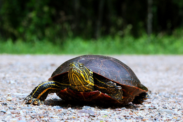 Do drivers purposely drive to hit turtles on the road animals via Flickr CC