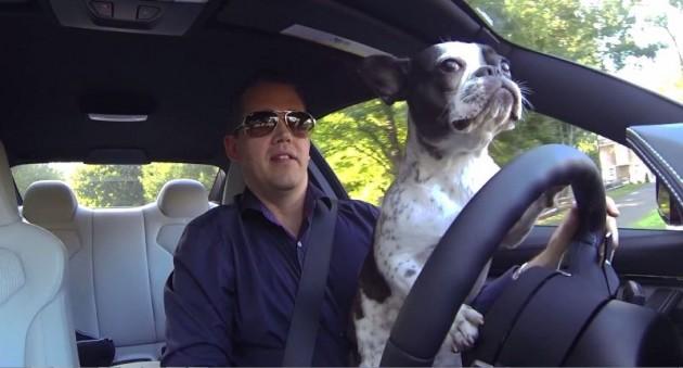 French Bulldog driving a car Nick Murray Tui dog video