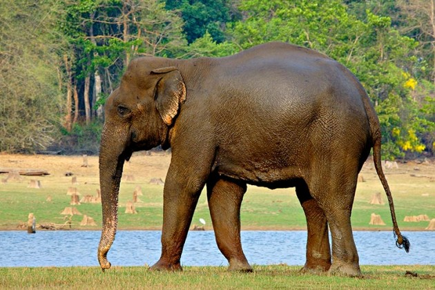 Behind this gentle giant lies a handbag eating behemoth Photo: Jayanand Govindaraj