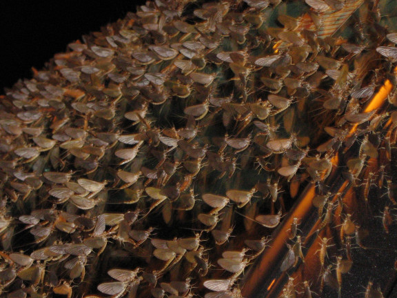 Well, it's not a plague of locusts, but it's close enough  Photo: Yerpo