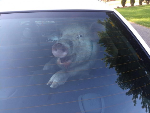 Pig pees and poops in police car cop custody