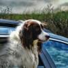 dog in car seat window hair