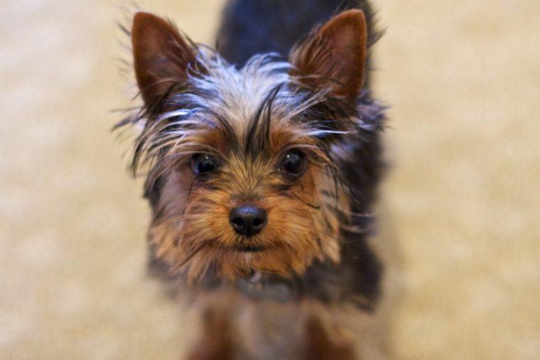 Yorkshire Terrier - Jack Jack