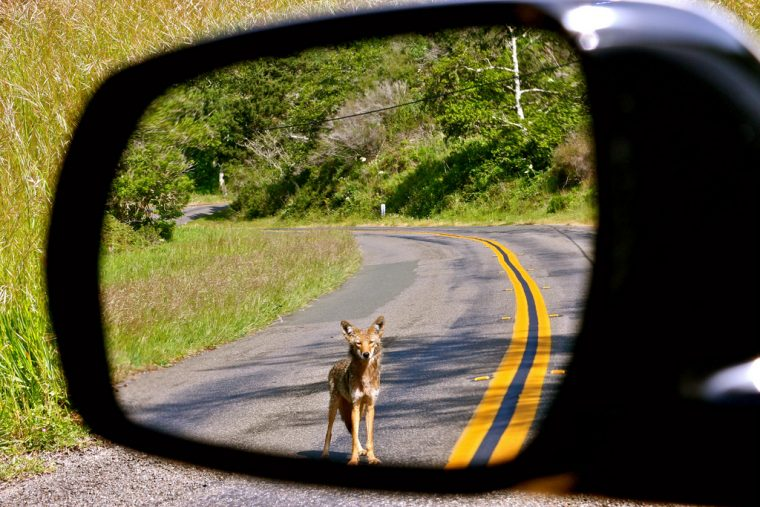 Coyote in the rearview