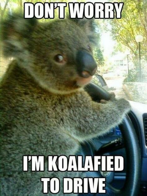 Koala Causes Adorable Traffic Jam The News Wheel