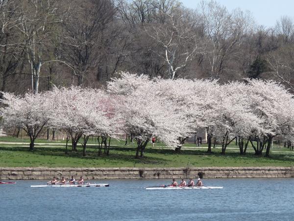 The 2016 Subaru Cherry Blossom Festival is this week in Philadelphia
