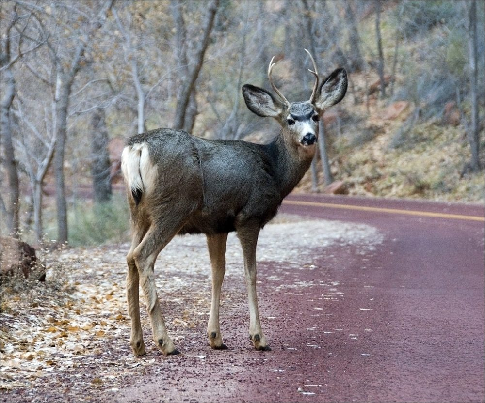 deer standing in roadway and looking at the camera