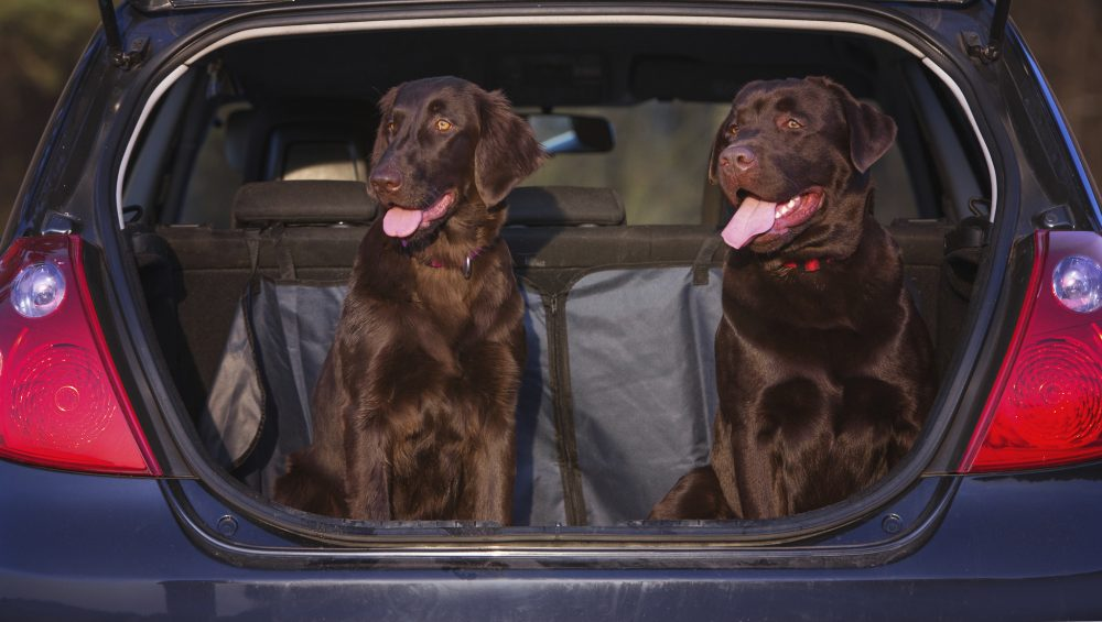 dogs sitting in a car