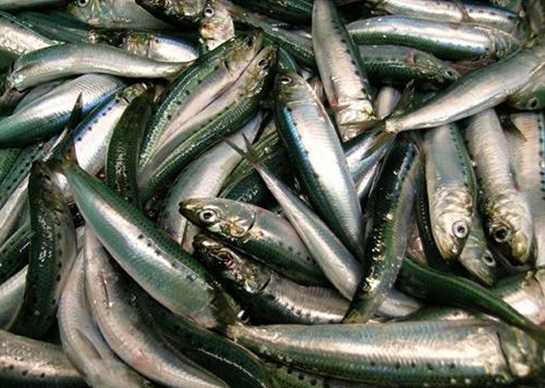 Because of species such as sardines, the fishing industry employs 200 million people worldwide