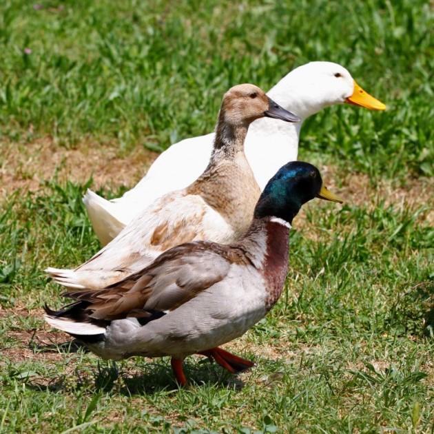 2016 keystone environmental award toyota ducks