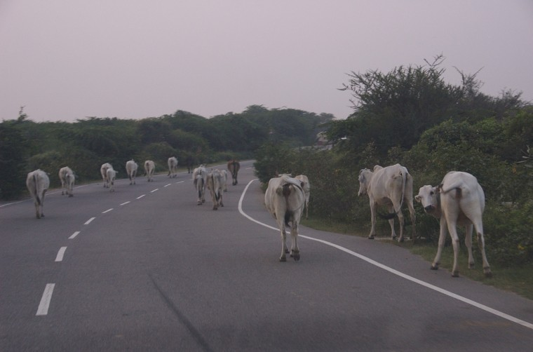 cows in road weird wisconsin car laws