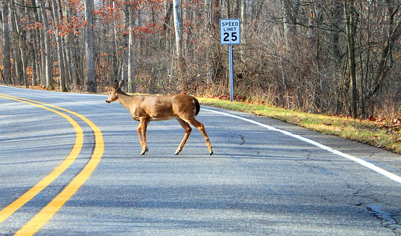 Why did the deer cross the road? To return to the scene of the crime! Photo: Dwight Burdette