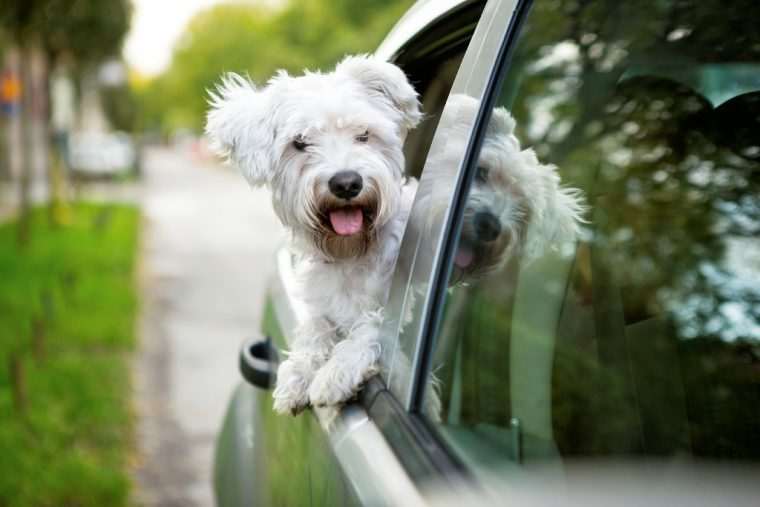 dog sticks head out window riding in car canine pooch driving safe