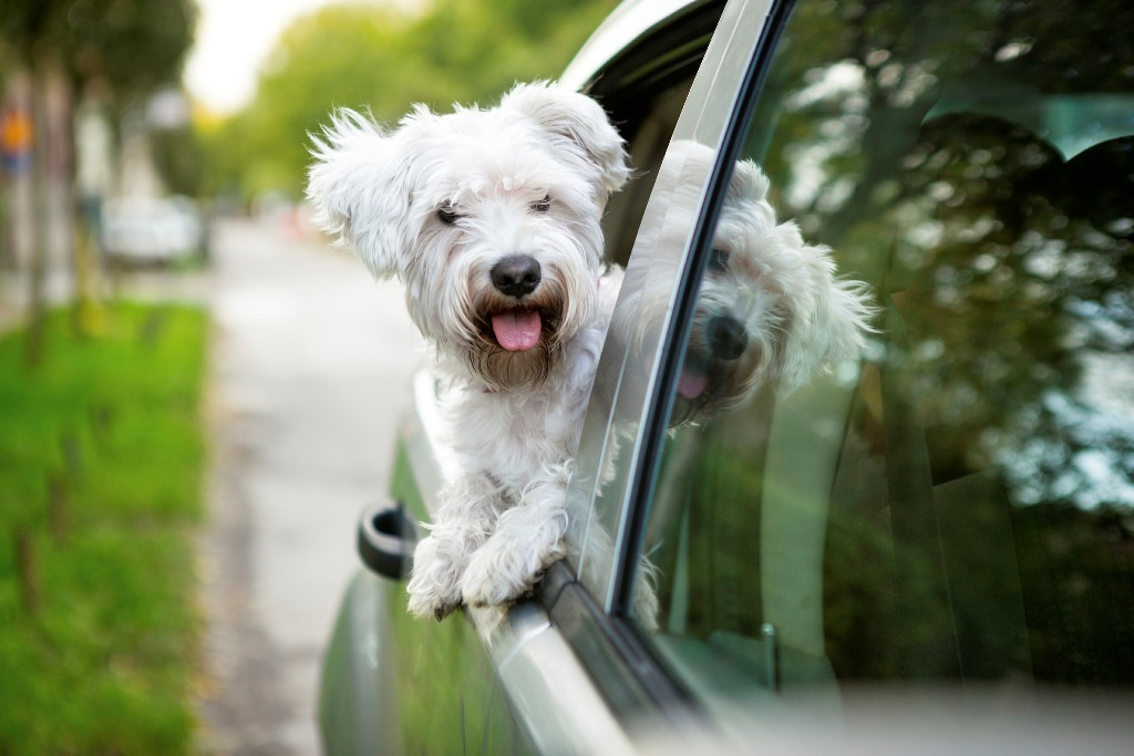 Why Do Dogs Stick Their Heads Out Car Windows Amp Is It