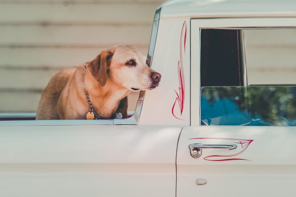 Dog sitting in a truck bed