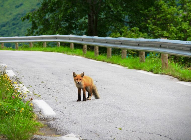 Fox in the Road