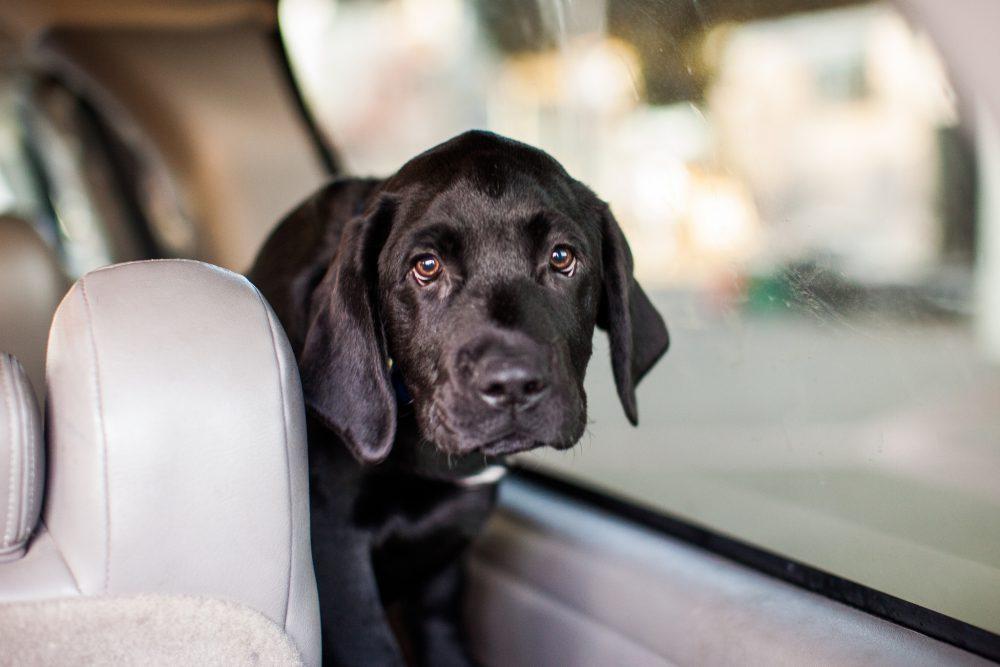 Dog Hot Car