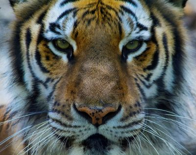 Tiger at Greensboro Science Center