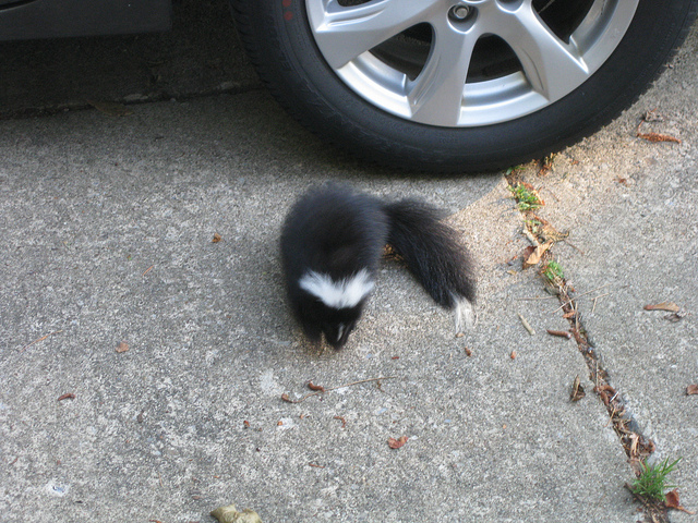 How to Remove Skunk Smell From Your Car - The News Wheel