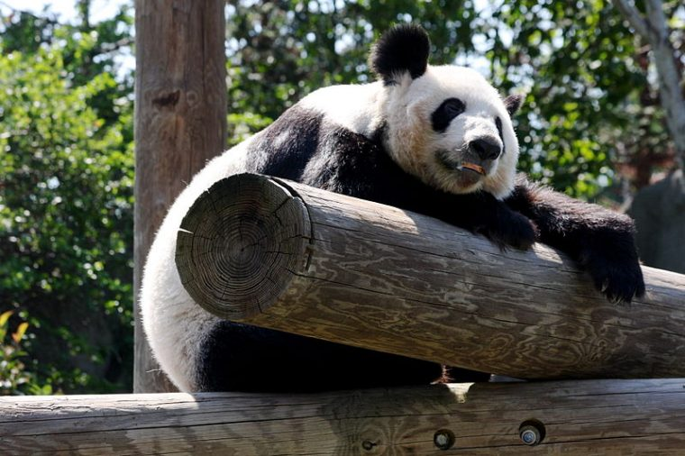 Giant panda at the Memphis Zoo