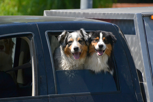 happy dogs in car
