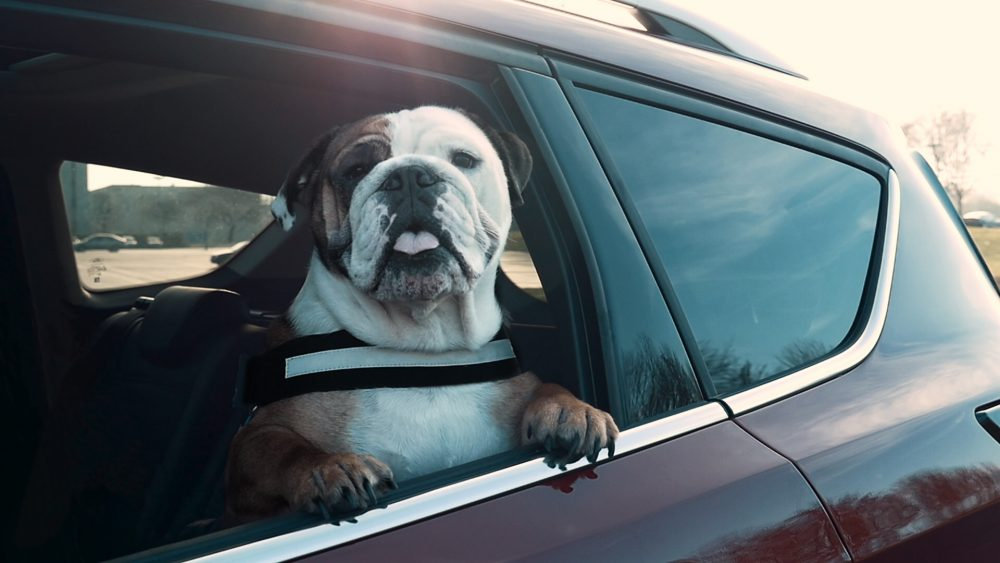 1 in 3 Dog-Owning Drivers Put Themselves, Passengers and Other R