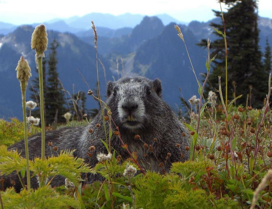 marmot at mt. rainier