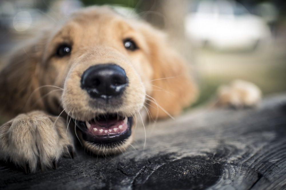 golden retriever puppy dog on tree wood