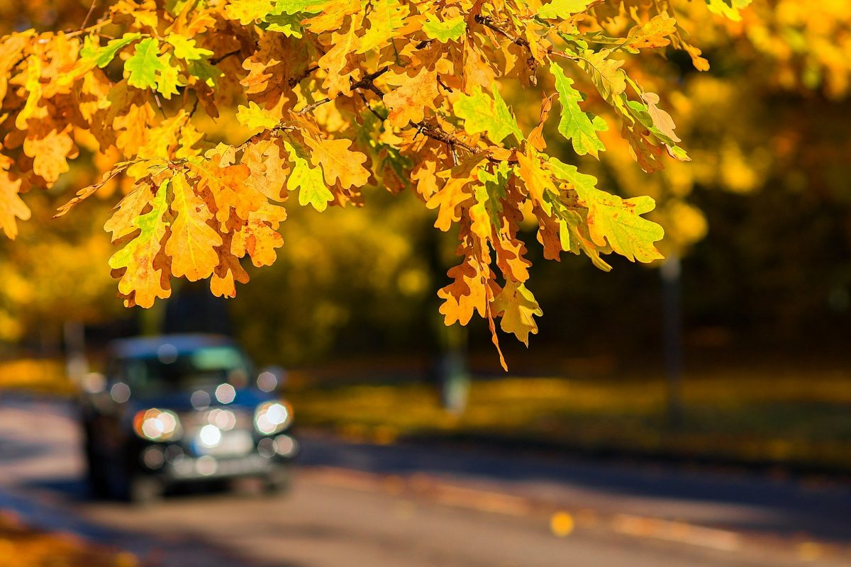 A car driving along the road with a branch in the foreground that's covered with yellow and orange fall leaves.
