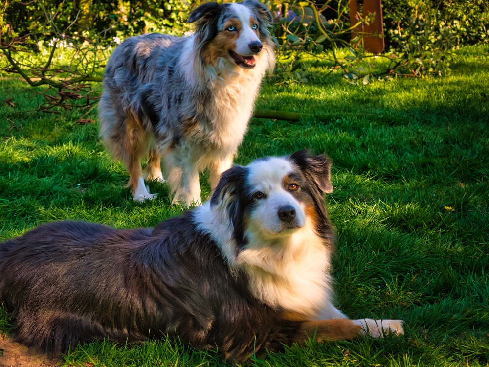 Two australian shepherds in the grass, one of the best dog breeds for active RVers
